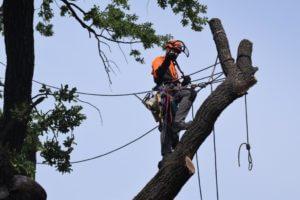 лечение деревьев - кронирование